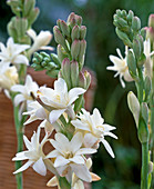 Polianthes tuberosa 'The Pearl'