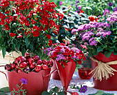 Dianthus 'Charm Coral' (carnation), Ageratum (liver balm)