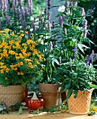 Tagetes tenuifolia 'Orange Gem', Agastache, Salvia farinacea
