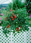 Tomato hanging basket 'Tumbler'