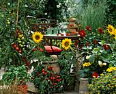 Hanging basket with 'Tumbler', tomato 'Tigrella', basil, Helianthus