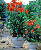 Canna indica (Indisches Blumenrohr), Rose 'Meillandina'