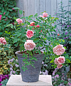 English rose 'Abraham Darby', perfume rose, bed rose more often