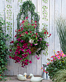 Wire basket with Hedera helix (ivy), Petunia 'Giant Purple'