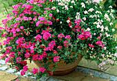 Verbena 'Coral Pink', Nemesis 'Karoo Pink'