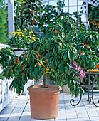 Nectarine (Prunus persica)