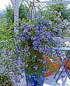 Plumbago auriculata (leadwort)