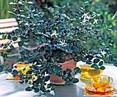 Carissa macrocarpa (Natal Plum)