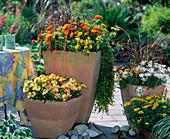 Summer Dream Helichrysum 'Sundaze Gold', Oxalis' Dark