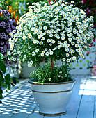 Argyranthemum frutescens (Daisy Stem)