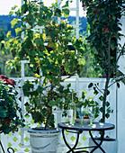 Vitis (grape) White, 'Phoenix', mildew resistant