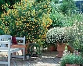 Cassia corymbosa (spice bark), Argyranthemum frutescens,