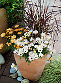 Osteospermum 'Orange Symphony', 'Milk Symphony'