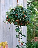 Strawberry as a flower basket 'Elan' F1 hybrids
