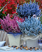 Erica gracilis (heather) sprayed in color