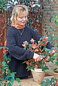 Cutting back abutilon hybrids in the fall