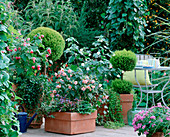 Shaded terrace with Abutilon hybrid (abutilon), Cupressus