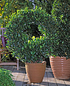 Laurus nobilis (laurel) grown as a wreath, special form