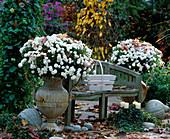 Dendranthema 'Dreamstar Leto', Gardenmums in Eisenamphore
