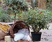Protect rhododendron for the winter, put bales in straw-filled baskets