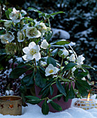 Helleborus niger (Christmas rose) in the snow