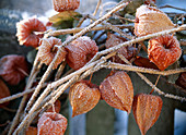 Physalis (lampion flower) with hoarfrost