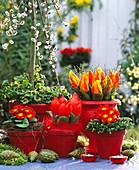 Tulipa 'Red Paradise', 'Flair', Salix caprea 'Pendula'
