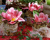 Tulipa 'Angelique' (tulip) in glasses with hay sleeves