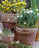 Galanthus nivalis snowdrop, Eranthis hyemalis winterling