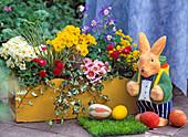 Yellow wooden box with primula elatior 'crescendo pure white'