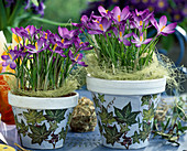 Crocus 'Ruby Giant' in pots with napkin technique (ivy pattern)