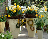 Cream yellow pots with narcissus