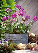 Primula denticulata (spherical primrose) in tin container