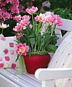 Tulipa 'Apple Blossom'