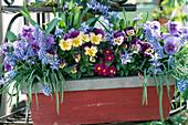 Muscari (Grape Hyacinth), Scilla (Blue Star), Viola