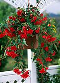 Begonia tuberhybrida, pendula