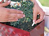 Sticking Lizetan sticks in the soil of balcony flowers