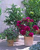 Solanum rantonnetii (lycianthes, gentian shrub)