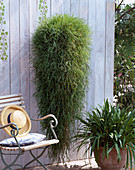 Agrostis stolonifera (Hanging Bamboo) 'Green Twist'
