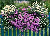 Agryanthemum frutescens (Balcony Marguerite), Osteospermum