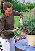 Cutting back lavender severely after flowering