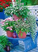 Osteospermum 'Jamboana Light Purple' (cap)