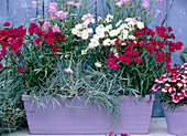 Dianthus corona 'Ideal Series' red, purple, white