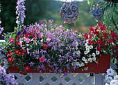 Petunia milliflora 'Fantasy Mix', Solenopsis (Laurentia)