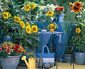 Helianthus annuus 'Pacino' Teddy Bear Ring Of Fire (Sunflower)