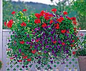 Pelargonium zonale 'Grand Prix' - Geranie