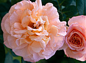 Rose 'Augusta Louise'-Edelrose, about 70 cm high