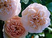 Rose 'Sweet Juliet' (English rose), up to 125 cm