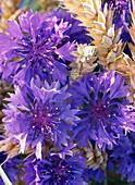 Centaurea cyanus 'Alpine Blue'