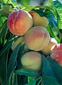 Prunus persica 'Amber var. Pixzee'